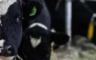 Чёрно-пёстрая порода коров: характеристика, продуктивность, содержание и уход