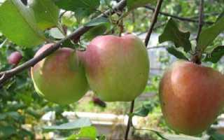 Яблоня сорта «Зимняя красавица»: описание и характеристика, агротехника выращивания и ухода за сортом, фото