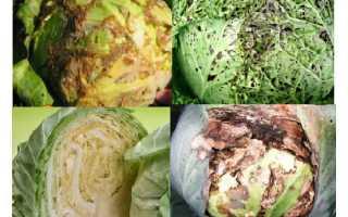 Бактериоз капусты: меры борьбы и лечение, описание видов, фото