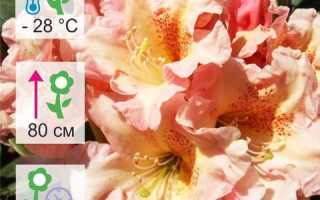 Рододендрон гибридный Flautando (Флаутандо): описание, особенности посадки и ухода за растением, его зимостойкость
