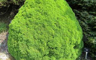 Ель канадская Альберта Глоб (Picea glauca Alberta Globe): использование в ландшафтном дизайне, описание и фото, посадка и уход