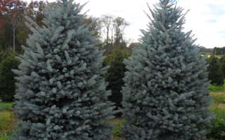 Колючая голубая ель Picea pungens Fat Albert (Фат Альберт): описание, фото