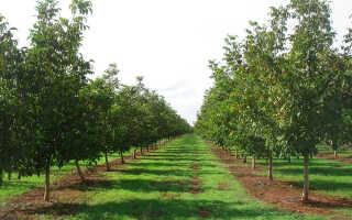 Плодоношение маньчжурского ореха: когда начинает цвести и плодоносить, почему сбрасывает плоды