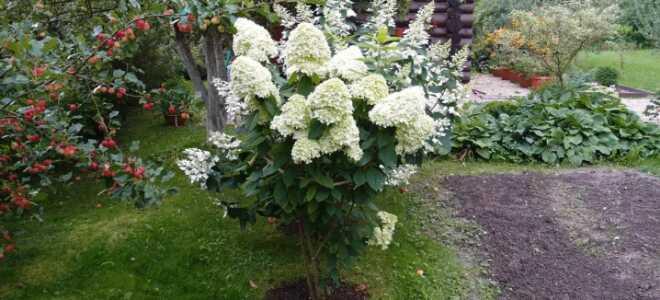 Гортензия на штамбе: как сделать, как вырастить и ухаживать, формирование, как привить растения в открытом грунте, фото