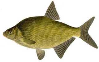 Морской лещ: что это за рыба и как она выглядит, её фото и описание, распространение и места обитания, промысловое значение и полезные свойства