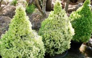 Ель Белобок (Picea pungens Bialobok): описание и фото, использование в ландшафтном дизайне, размеры дерева