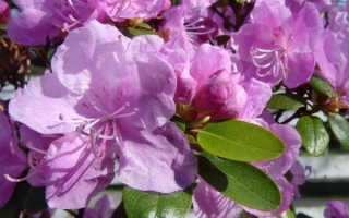 Рододендрон Ледебура (народное название — Маральник): фото и описание цветения, посадка и уход в открытом грунте