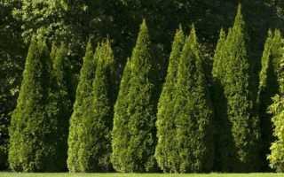 Пересадка туи осенью, весной и летом на новое место: как пересадить дерево на другую местность, как переместить взрослое растение