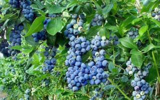 Голубика садовая в природе: фото и описание кустарника, как и когда цветёт, посадка и уход в открытом грунте