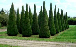 Посадка туи: уход за растением в открытом грунте, как правильно посадить на участке, пошаговая инструкция, посадка летом, весной и осенью