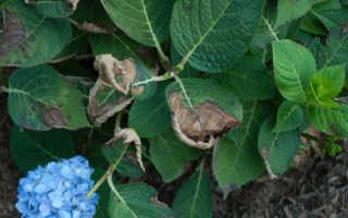 Молодые листки у гортензии скрутились вниз: что за заболевание, почему у гортензии скручиваются и сохнут листья, какие причины