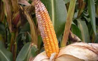 Болезни и вредители кукурузы: меры борьбы с ними, фото и описание