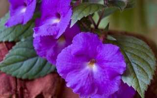 Ахименес: сорта и их названия с описанием, уход и выращивание, фото