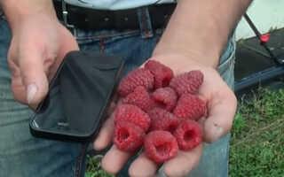Малина Маргарита: описание сорта, преимущества и недостатки, уход, урожайность, фото