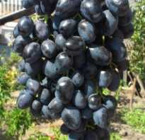 Виноград кишмиш Чёрный палец (Блэк Фингер): описание сорта, фото, выращивание и уход