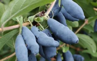 Особенности выращивания жимолости на Урале: посадка и уход, сорта жимолости для Урала с фото