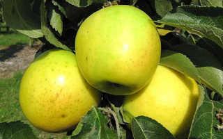 Яблоня колоновидная сорта Малюха: ботаническое описание и характеристика, особенности выращивания и ухода, фото
