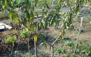 Особенности посадки персика осенью: преимущества, сроки, как правильно садить, уход после посадки, когда пересаживать