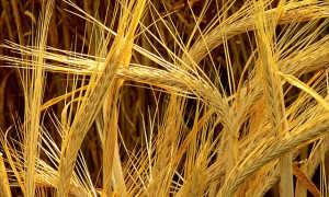 Ячмень, пшеница, рожь и овёс: в чём их сходство и разница, как отличить с фото, что лучше для организма и возможный вред