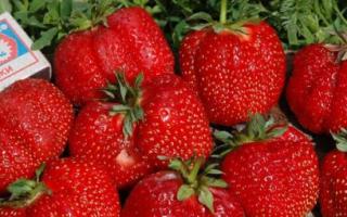 Клубника Гигантелла: описание и характеристика сорта, выращивание и уход, фото
