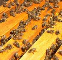 Размножение пчёл на пасеке, искусственное разведение пчёл, особенности и описание, фото и видео