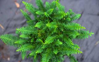 Кипарисовик тупой Тедди Бир (Chamaecyparis obtusa Teddy Bear): описание и фото, посадка и уход за растением, использование в ландшафтном дизайне