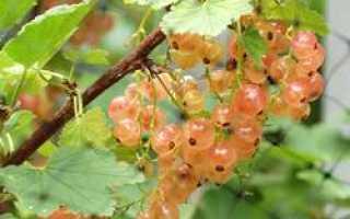 Ранний сорт гибридной смородины Розовый жемчуг: внешний вид и описание сорта, фото