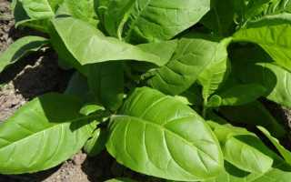 Табак Ориентал: выращивание и уход в домашних условиях, сбор и дальнейшая обработка
