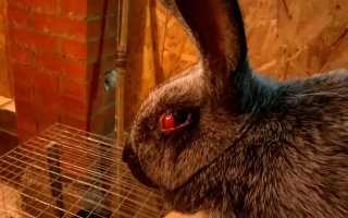 Болезни глаз у кроликов: симптомы и лечение, описание и причины, фото