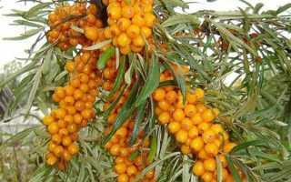 Сколько раз в жизни плодоносит облепиха, когда начинает плодоносить после посадки, будет ли урожай без опыления