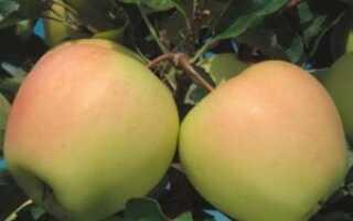 Яблоня сорта Айнур: основные отличия, характеристика, агротехника выращивания и ухода, фото