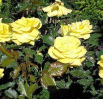 Роза Фрезия: описание, отличительные характеристики, особенности выращивания и ухода, фото