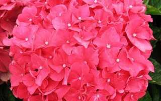 Гортензия крупнолистная Форевер энд Эвер Ред (Forever & Ever Red): описание с фото, зимостойкость сорта
