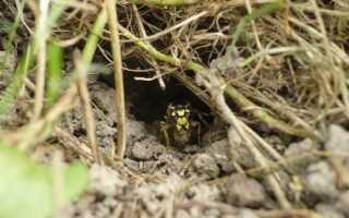 Земляные осы: внешний вид, особенности поведения, опасность укуса, как избавиться от земляных ос на даче, фото