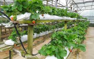 Выращивание клубники в мешках: особенности и недостатки метода, технологии выращивания в домашних условиях, посадка и уход