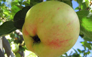 Яблоня Юбиляр: характеристика и описание сорта, выращивание и уход, фото, отзывы