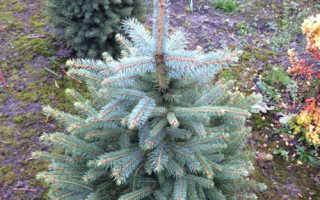 Ель колючая Глаука Мисти Блю (Picea pungens Glauca Misty Blue): описание и фото, посадка и уход