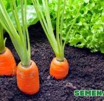 Как собирать семена моркови в домашних условиях: когда и как правильно нужно собирать