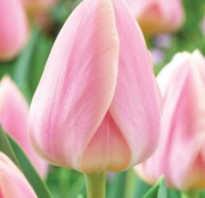 Тюльпан Династия (Dynasty): описание и фото растения, его особенности выращивания, использование в ландшафтном дизайне