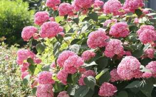 Гортензия древовидная Пинк Аннабель (Hydrangea arborescens Pink Annabelle): описание сорта с фото, как обрезать