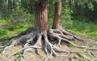 Корневая система сосны обыкновенной: строение, глубина и ширина на плотных почвах, как растут корни, фото