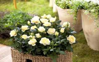Маленькие розы: как называются самые миниатюрные сорта роз, посадка и уход, фото