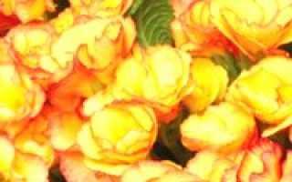 Примула мелкозубчатая (белая, красная, пон-пон, ушковая, рубин): выращивание из семян, фото