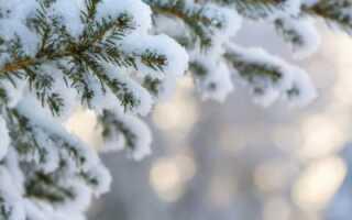 Ель из семян еловой шишки: как посадить семенами и вырастить дерево в домашних условиях