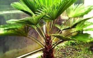 Брахея — комнатное растение: описание и характеристика, выращивание и уход в домашних условиях, фото