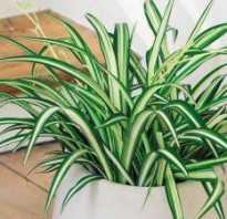Что делать, если у хлорофитума сохнут кончики листьев?
