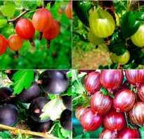 Красноплодный сорт крыжовника Серенада: описание и преимущества сорта, фото