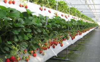 Выращивание клубники в теплицах из поликарбоната круглый год: своими руками, способы, агротехника выращивания