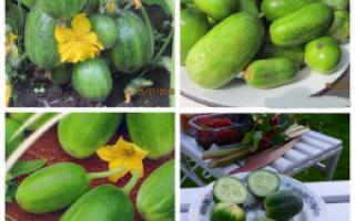 Огурцы Чупа-Щупс: характеристика и описание сорта, особенности выращивания, фото