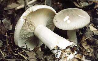 Говорушка дымчатая (серая) или рядовка дымчатая: как правильно приготовить грибы, полезные свойства и возможный вред, фото и описание